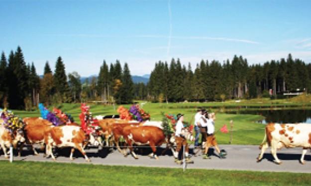 Dễ thương lễ hội bò Almabtrieb