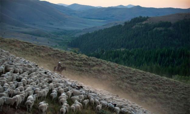 Ấn tượng cuộc diễu hành của hàng ngàn chú cừu