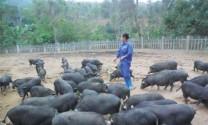 Tuyên Quang: Hiệu quả mô hình nuôi heo bản địa an toàn sinh học