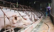 Thái Bình: Giá trị chăn nuôi giảm nhẹ