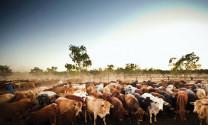 """Những trang trại chăn nuôi """"khủng"""" nhất thế giới"""