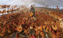 Trung Quốc: Ngành gia cầm điêu đứng tại vùng dịch coronavirus