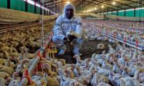 Nam Phi: Nỗ lực phục hồi ngành gia cầm
