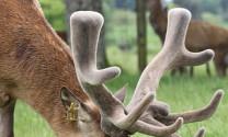 Hà Tĩnh: Lộc nhung hươu cho giá trị kinh tế cao