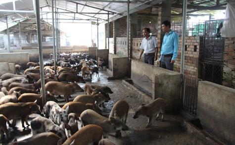 Mô hình nuôi lợn rừng của gia đình anh Trịnh Trọng Tú, xã Yên Ninh, huyện Yên Định (Thanh Hóa).